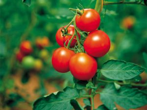 tomato_arab_emirates
